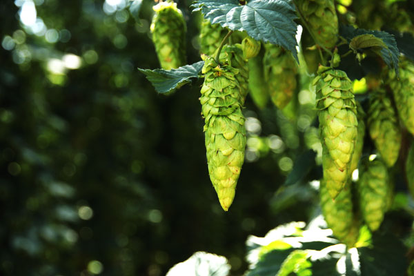 Beer Travel: A Journey Into Hops
